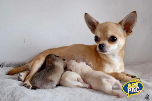 Première photo pour Superbes Chiots Chihuahua Pure Race Poils Courts Taille Standard