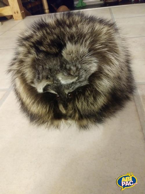 Première photo pour Chapeau fourrure Raton Laveur