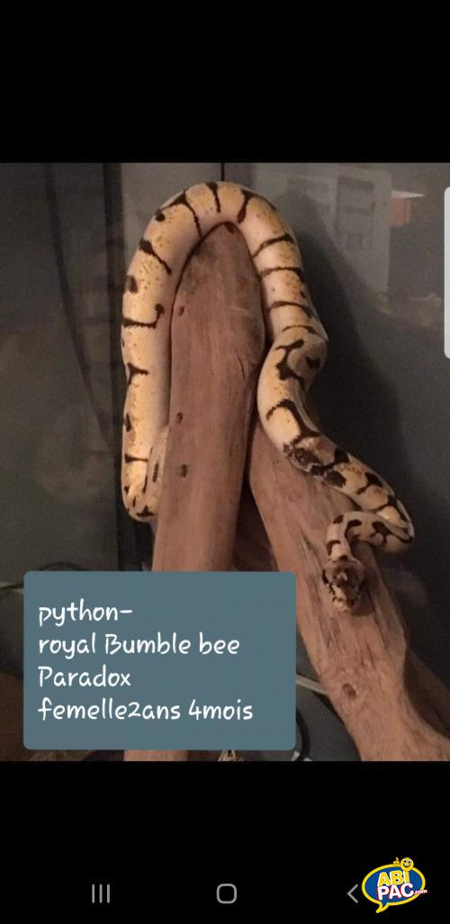Premi�re photo pour Python royal